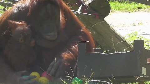 Tidy Orangutan mother puts toys away