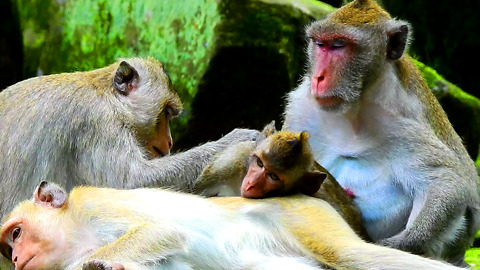 Monkey Massage On The Stone, Real Life Of Monkey