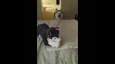 Husky only gets on bed after favorite toy is in place