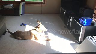 Just a dog lying in the sun and singing - Video