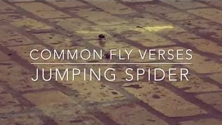 Jumping Spider Takes on Common Fly in Epic Duel
