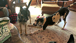 Playful Great Dane Shows Off His Moves To German Shepherd