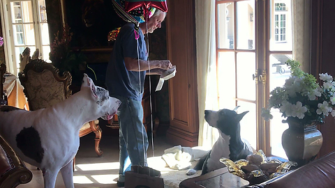 Happy Great Danes Celebrate 8th Birthday with Balloons and Burgers