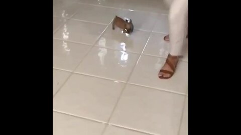 Tinny little puppy chases owner around the house