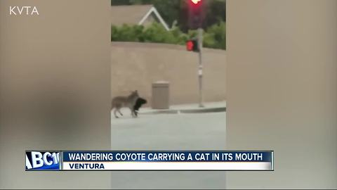 Wandering coyote spotted carrying cat in its mouth