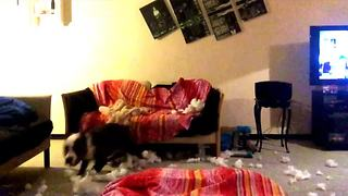 Overly excited dog makes mess in living room - Video