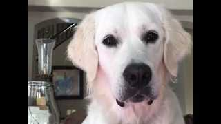 English Golden Retriever Puppy Looks Quizzically into Camera