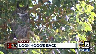 Owls make themselves at home at a Valley high school - Video