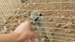 Rescued baby meerkat makes adorable sounds