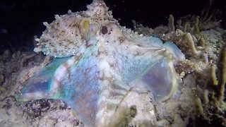 Undersea disco – Hunting octopus flashes bright lights - Video