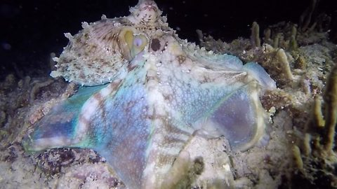 Undersea disco – Hunting octopus flashes bright lights