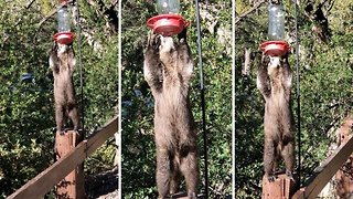 Amazing moment thirsty raccoon reaches up to drink from bird feeder