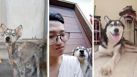Husky undergoes amazing transformation after being hit by vehicle