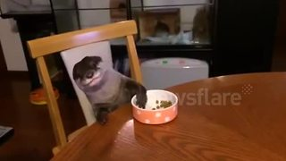 Well-behaved otter eats at dinner table