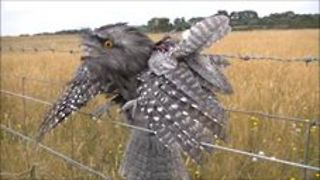 Tawny Frogmouth Found Trapped by Barbed Wire is Euthanased - Video
