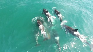 Pod Of Orcas Take Down Minke Whale   SNAPPED IN THE WILD - Video