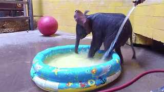 Pittsburgh Zoo's Elephant Calf Gets First Bath - Video