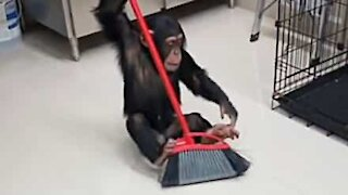Chimp helps out sweeping floor!