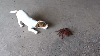 Puppy overcomes arachnophobia with giant robot spider - Video