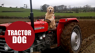 Clever dog shows off his farming skills - skillfully driving his master's tractor. - Video