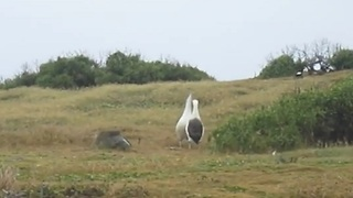 The Albatross (bird) mating dance