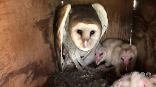 Barn owls being used as natural way to rid farms of rodents