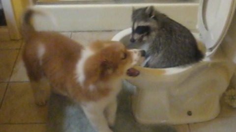 Pet Raccoon Climbs In The Toilet While Playing With Puppy
