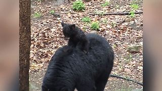 Bear Cub Gets A Piggy Back Ride - Video
