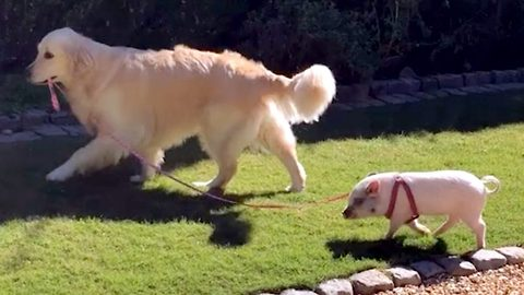 Tiny piglet and golden retriever best friend eat, bathe and even go on walkies together