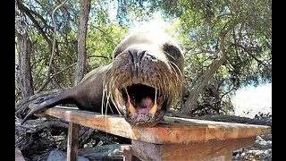 Grumpy sea lion warns tourist to pick another picnic table
