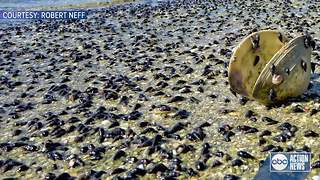 WATCH | Millions of snails wash up on Fort De Soto Beach - Video