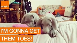 Cute Puppies Attempt to Nibble Owner's Toes - Video