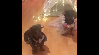 Adorable Dachshunds dress up as bride and groom