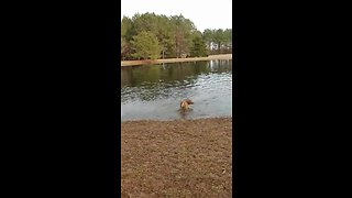 Super excited dogs run and play in the water