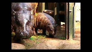 Rare Pygmy Hippo Born In Chile - Video
