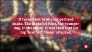 Pit bulls rescue kids from copperhead snake | Rare News - Video
