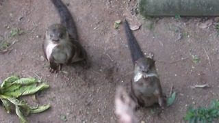 Greedy otters humorously demand more fish - Video