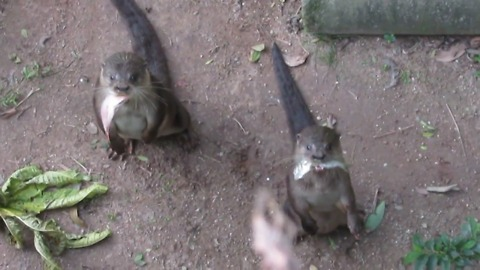 Greedy otters want more fish