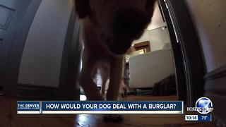 Would your dog stop a burglar? - Video