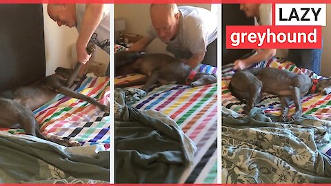 Lazy dog refuses to move when owner makes bed