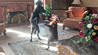 Funny Great Dane and Pointer Dog Dancing and Playing Together  - Video
