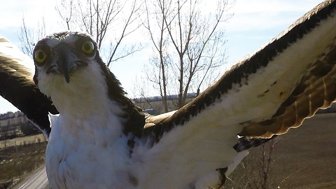 Curious osprey lands on camera and pecks it