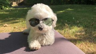 This dog's future is so bright, he's gotta wear shades - Video
