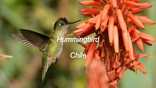 Hummingbird in Santiago, Chile
