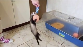 Elly the Ferret Wants Her Birthday Present - Video