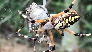 Banana Spider Caught A Toad In Its Web, Wraps It For Later - Video