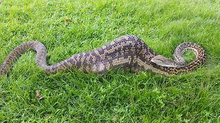 Snake catchers discover 16ft-long python digesting wallaby