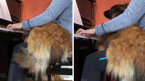 Dog loves the piano, jumps on owner's lap when she plays