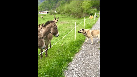 Cautious dog wants to befriend donkeys so badly