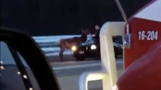 Idaho Police Deal with Elk on Highway - Video